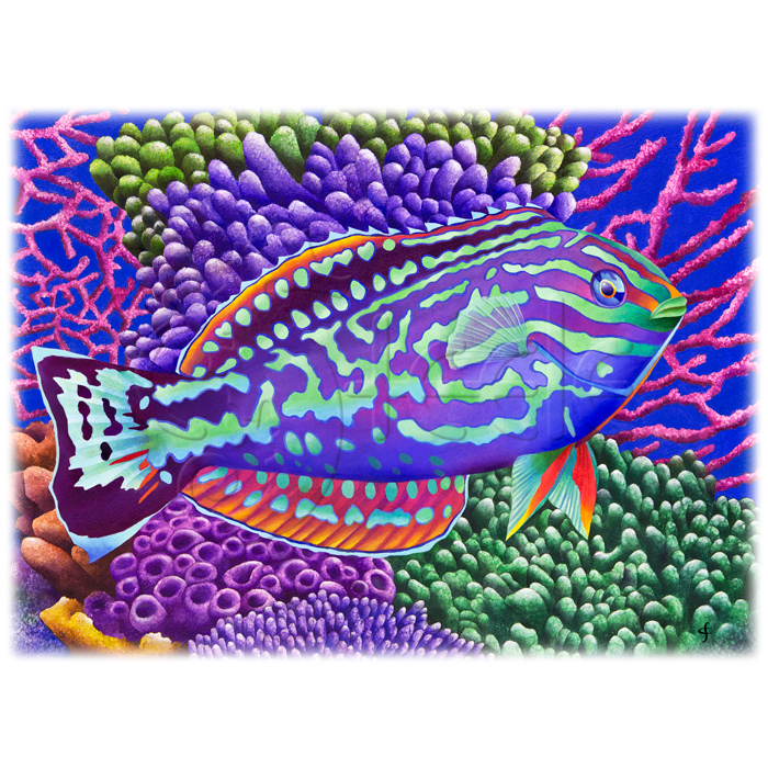 Radical Wrasse by Carolyn Steele