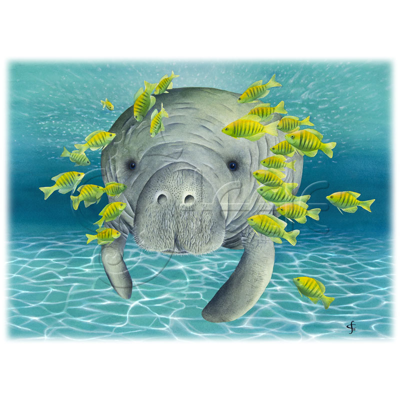 Manatee Moochers by Carolyn Steele